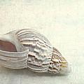 Seashell 6800 by Christina Williams