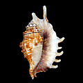 Seashell Lambis Digitata by Jennie Marie Schell