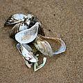 Seashells  by Debbie Nobile