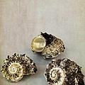 Seashells by Elena Nosyreva