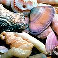 Seashells Puerto Rico by Thomas R Fletcher