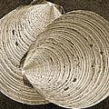 Seashells Spectacular No 11 by Ben and Raisa Gertsberg