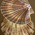 Seashells Spectacular No 54 by Ben and Raisa Gertsberg
