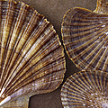 Seashells Spectacular No 7 by Ben and Raisa Gertsberg