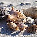 Seashells by Spencer Studios