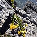 Seaside Goldenrod 1 by Robert Nickologianis