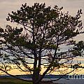 Seaside Pine by Ray Konopaske