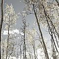 Silver Birch  by Alanna DPhoto