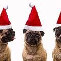 Seasons Greetings Christmas Caroling Pug Dogs Wearing Santa Claus Hats by Edward Fielding