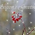 Seasons Greetings Red Berries by Cathy Beharriell