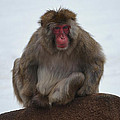 Seated Macaque Snow Monkey by Mary Machare