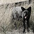 Seattle Silver Fox by Jennie Breeze