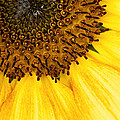 Seattle Sunflower Close-up by Don Johnson