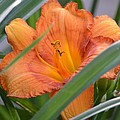 Secret Sunset - Lily by Maria Urso