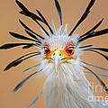 Secretary Bird Portrait Close-up Head Shot by Johan Swanepoel