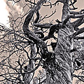 Sedona Arizona Ghost Tree In Black And White by Gregory Dyer