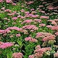 Sedum Garden by Carol Groenen