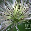 Seed Head by Deborah Benbrook