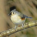 Seed On Tufted Titmouse by MTBobbins Photography