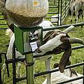 Self Serve Goat by LeeAnn McLaneGoetz McLaneGoetzStudioLLCcom