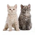 Selkirk Rex Kittens by Jean-Michel Labat