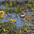 Semi-palmated Plover Pictures 44 by World Wildlife Photography