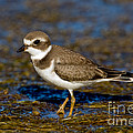 Semipalmated Plover by Anthony Mercieca