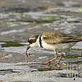 Semipalmated Plover by Barbara Bowen