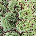 Sempervivum Calacreum by Science Photo Library