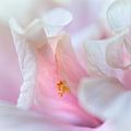 Sensuality. Peach Hibiscus. Macro by Jenny Rainbow