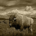King Of The Herd by Randall Nyhof