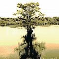 Sepia Cypress Chicot Sp Louisiana by Lizi Beard-Ward