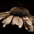 Sepia Daisy by Lori Tambakis