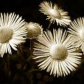 Sepia Flowers by Christina Rollo