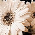 Sepia Gerber Daisy Flowers by Jennie Marie Schell
