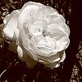 Sepia Rose by Aidan Moran