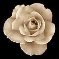 Sepia Rose Flower Portrait by Jennie Marie Schell