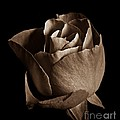 Sepia Rose Portrait 2 by Chalet Roome-Rigdon