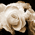 Sepia Roses With Rain Drops by Jennie Marie Schell