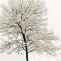 Sepia Square Tree by U Schade