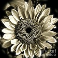 Sepia Sunflower by Diana Black
