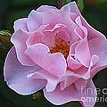 September Rose by Dora Sofia Caputo Photographic Design and Fine Art