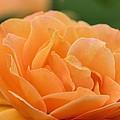 September Rose by Maria Urso