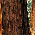 Sequoia by Chris Howes
