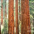 Sequoia by Chuck Spang