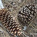 Sequoia Pine Cones by Ruth H Curtis