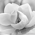 Serene Magnolia by Sabrina L Ryan