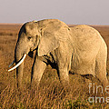 Serengeti Elephant by Chris Scroggins