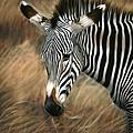 Serengeti Zebra by Carol McCarty