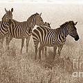 Serengeti Zebras by Chris Scroggins